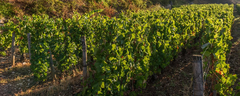 Plants de vigne