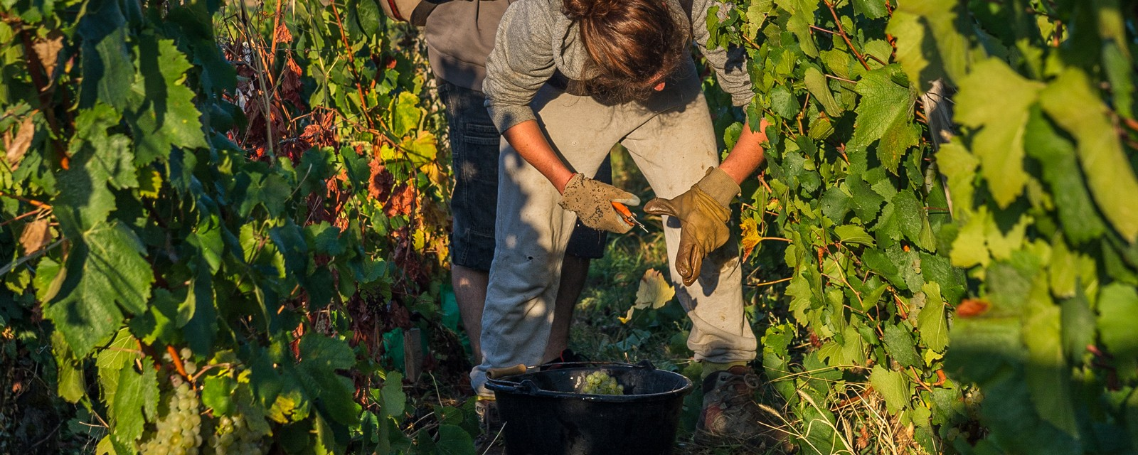 Harvesting in the vineyard