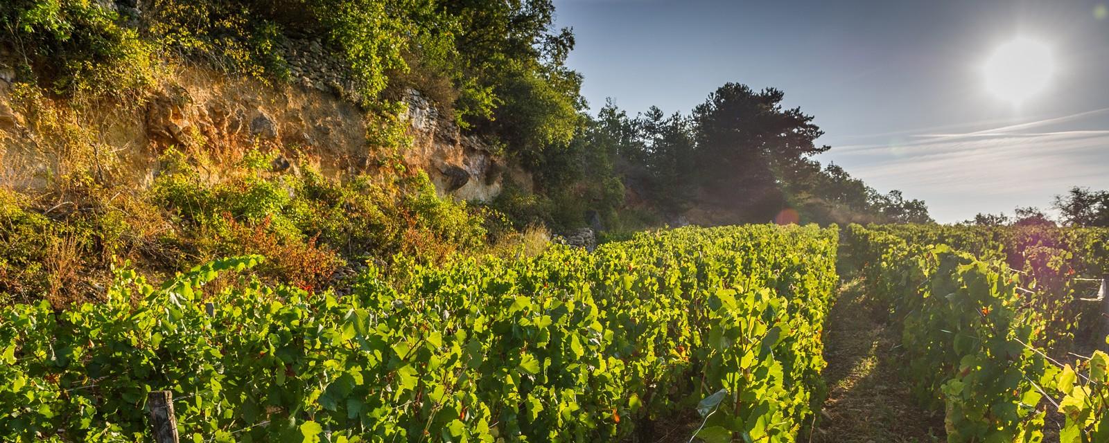 Sunny Vineyard